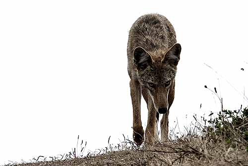 best coyote bait, best coyote lure, coyote trapping bait, coyote hunting bait