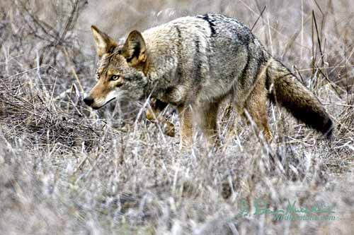 best coyote decoy, coyote hunting decoys