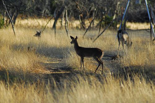 cheap deer attractants, best attractant for deer, best deer attractant food, best deer attractant feed, best deer attractant