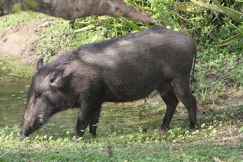 wild hog bait, wild hog attractant, best hog bait, best wild hog bait